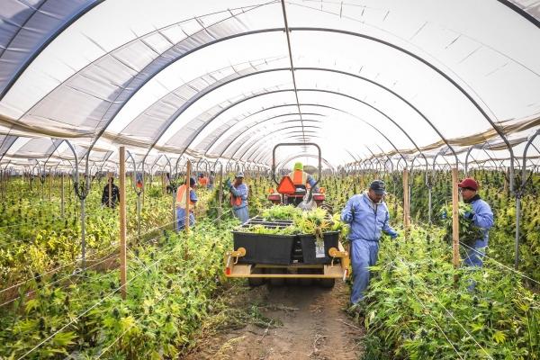 Pro_Farms_Cannabis_Harvest
